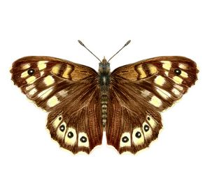 Speckled Wood Butterfly Watercolor