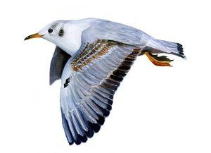Black Gull Watercolour Painting Art