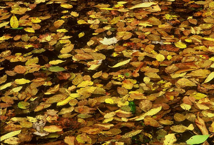 Gold Leaves Floating On Water - Rodney Williams