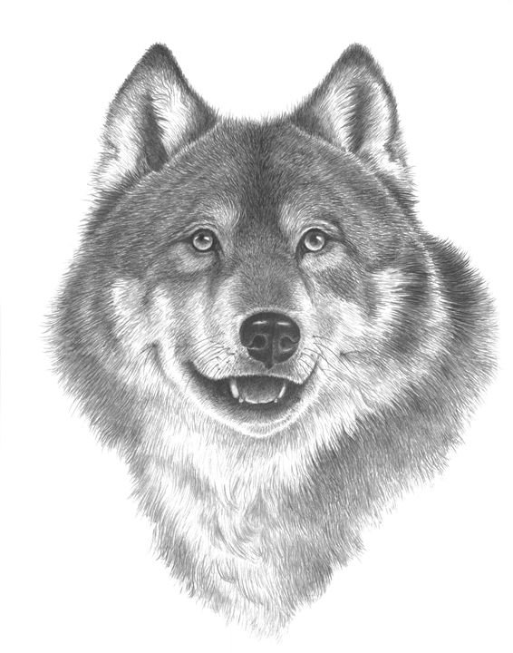 Happy Wolf - 800 Wild Animals drawings by Kelly