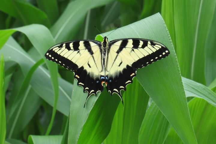 Tiger Swallowtail - Celeste