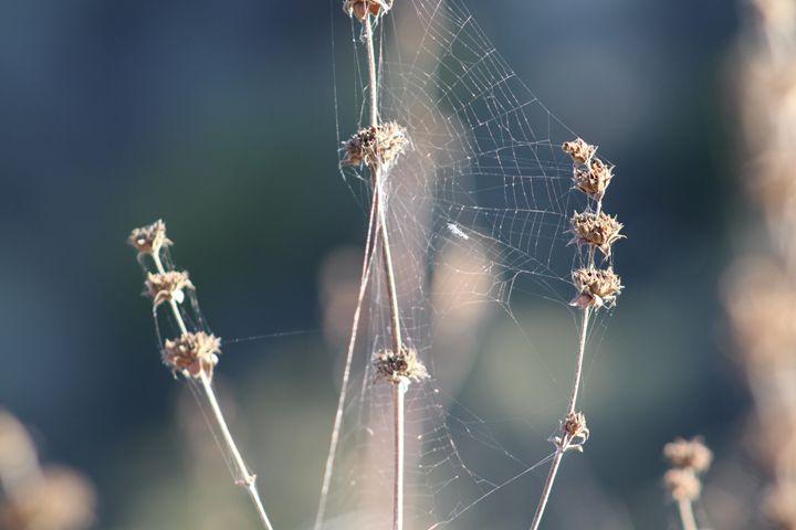 Spider Web - Allen