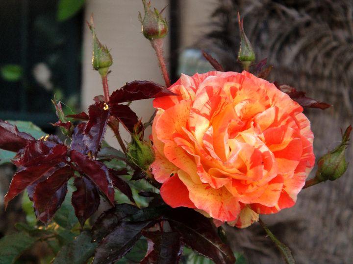 Orange-yellow hybrid rose 2 - Sofia Goldberg's Gallery