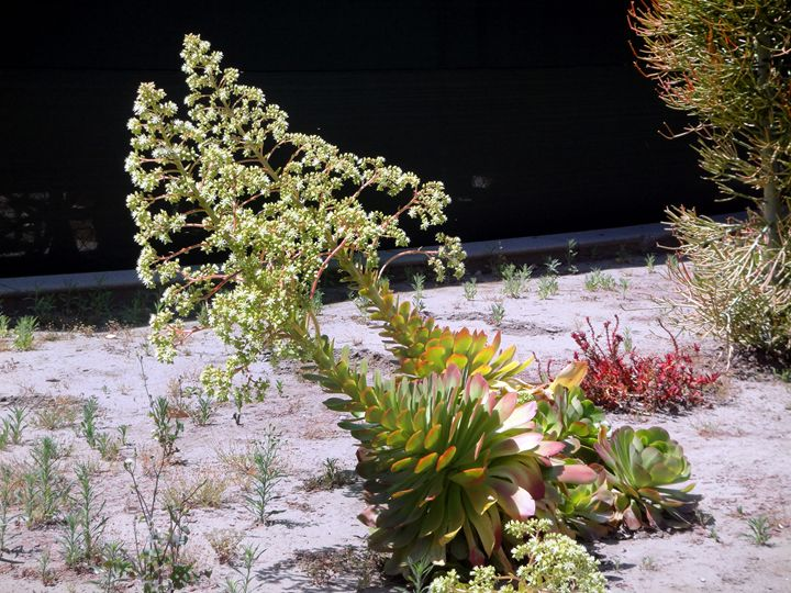 Pair of blooming succulents - Sofia Goldberg's Gallery
