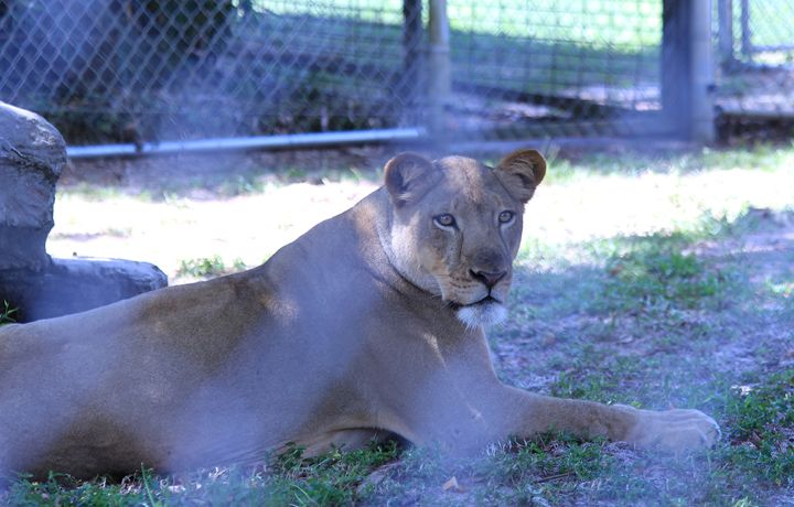 Queen Lioness - Klacey's Photography