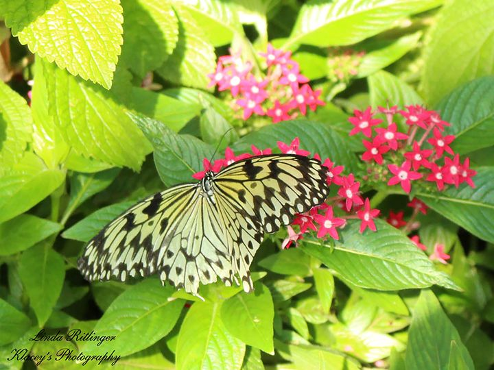 Beautiful Butterfly - Klacey's Photography