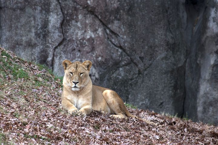 Lazy Lioness - Klacey's Photography