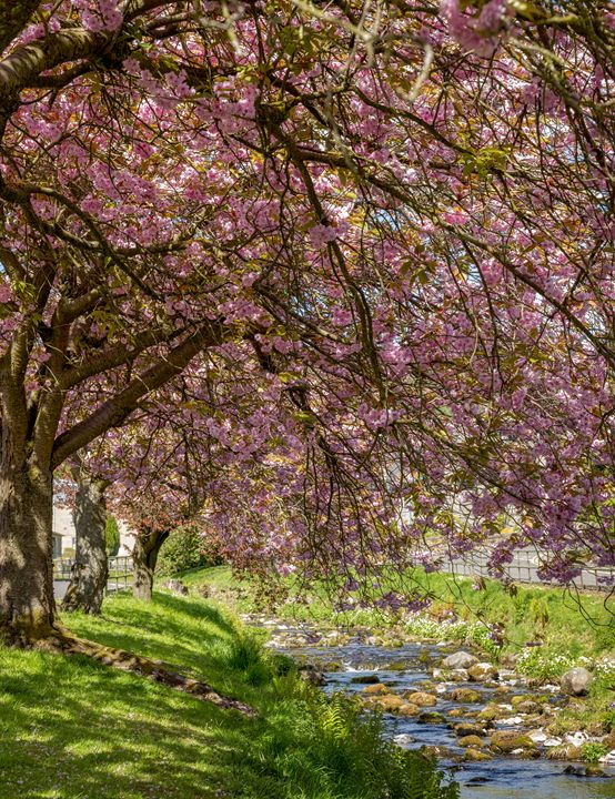 Cherry Blossom over the Burn - Jeremy Lavender Photography