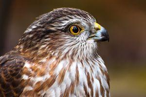 Georgia Falcon