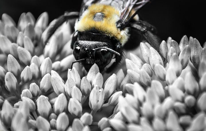 Bee - Wahl Photo