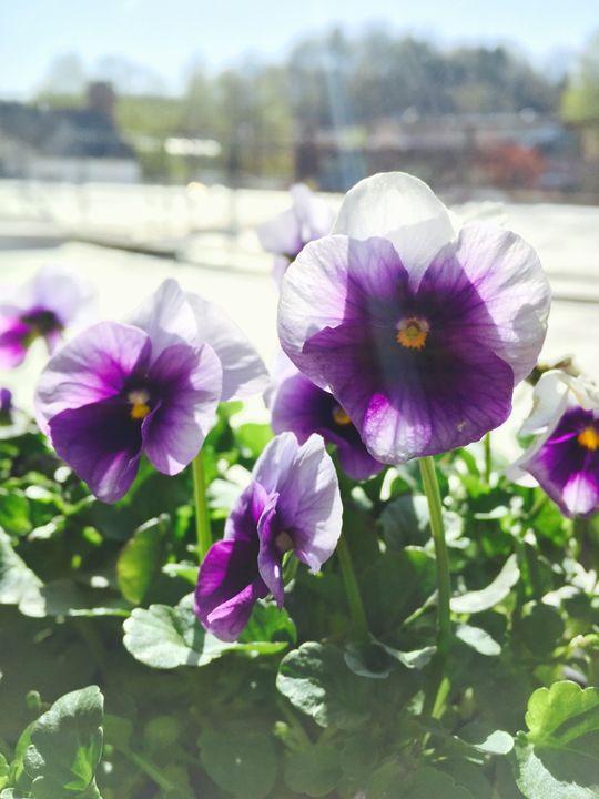 Purple Violets - Brogan Fine Art