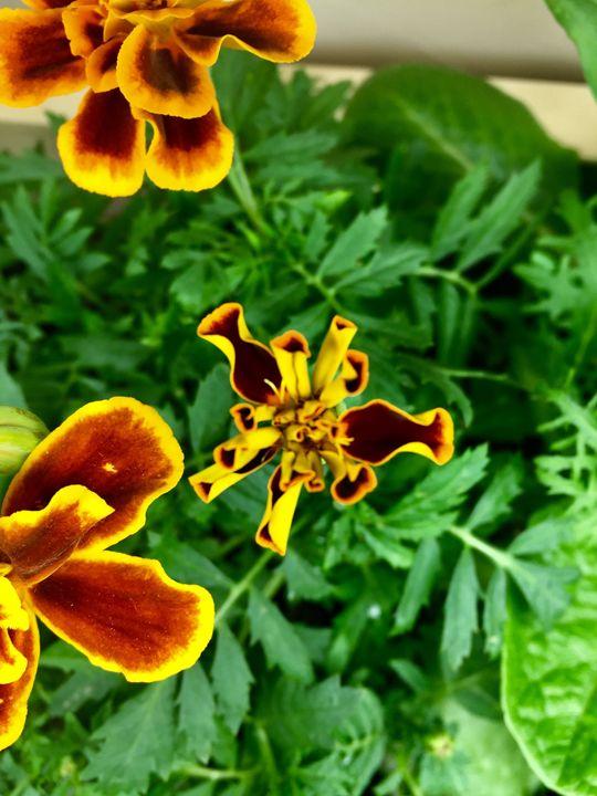Bright marigold - Brogan Fine Art