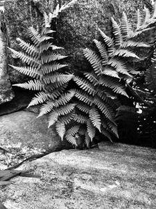 Black and White Ferns - Brogan Fine Art