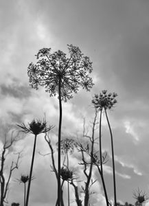 Queen Anne's Lace against sky