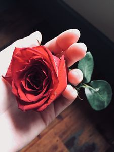 Red rose held in hand