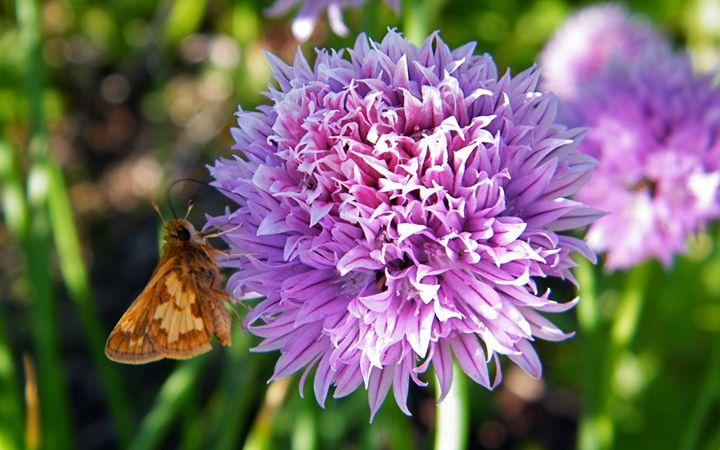 Chive Blossom Butterfly - Brogan Fine Art