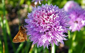 Chive Blossom Butterfly