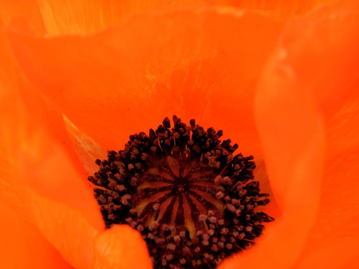 Bright Poppy - Brogan Fine Art