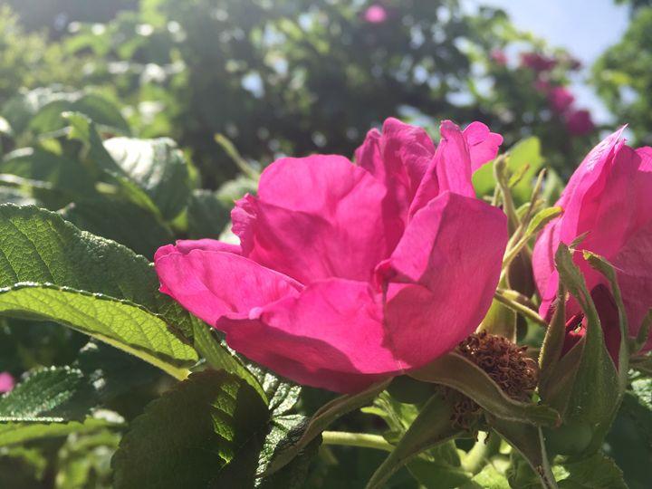Roses in the Sunshine - Brogan Fine Art