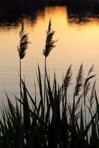 Reeds Sunset Water Lake