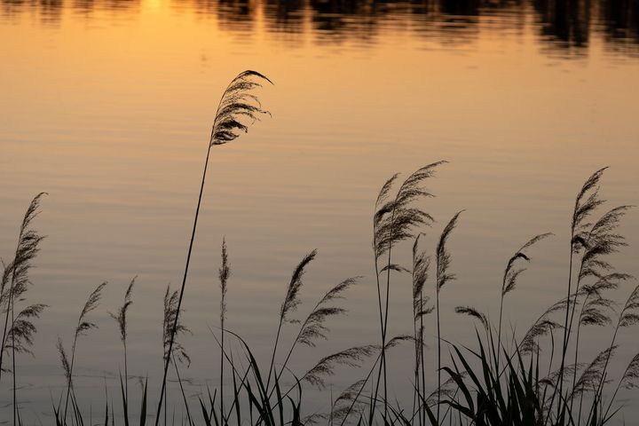 Reeds at Sunset - Journey is my Home