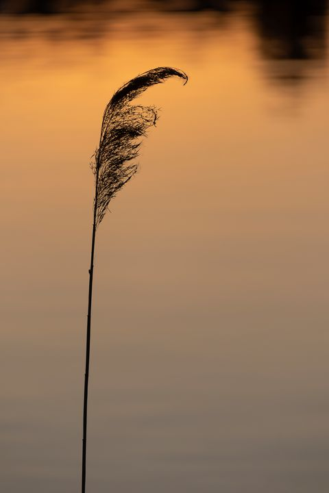 Lonely reed at sunset - Journey is my Home