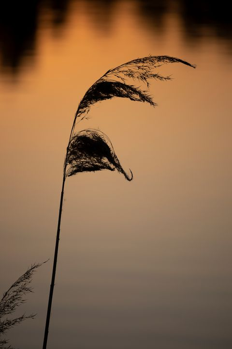 Reed at Sunset - Journey is my Home