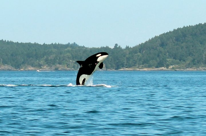 Killer whale breeching - Ravens Real Life Gallery