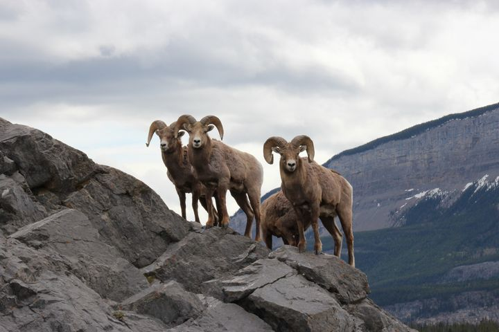 Bighorn sheep looking at you - Ravens Real Life Gallery