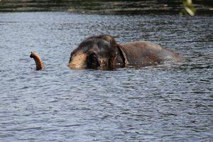 Elephant peek a boo