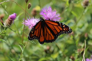Orange butterfly on a purple thistle