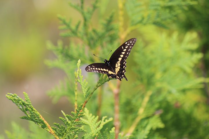 black and yellow butterfly - Ravens Real Life Gallery