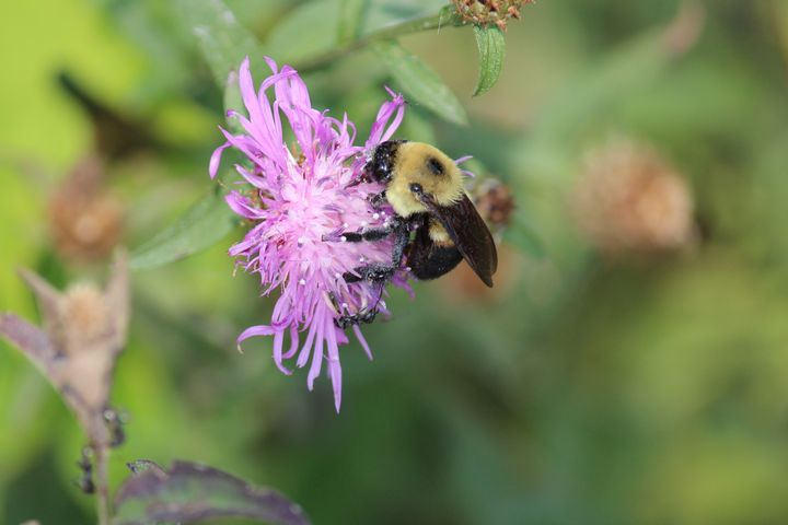 Bumble bee hanging out on a thistle - Ravens Real Life Gallery
