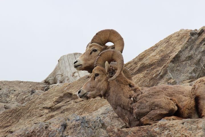 Bighorn sheep posing - Ravens Real Life Gallery