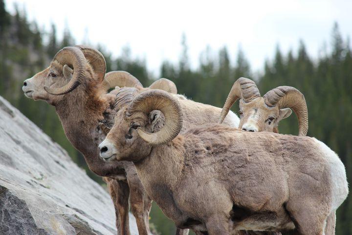 Bighorn sheep playing peek a boo - Ravens Real Life Gallery