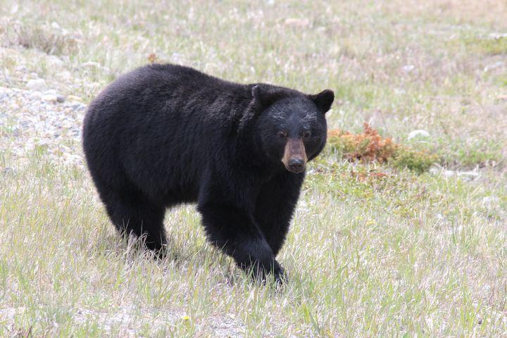 Black bear posing - Ravens Real Life Gallery
