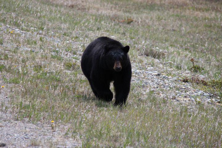 Black bear trotting - Ravens Real Life Gallery