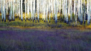 Aspens and Lavender Meadow