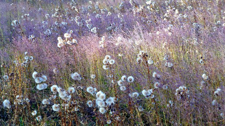 Puff Balls and Lavender Grasses - Brian Shaw