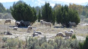 Sheep among the Junipers - Brian Shaw
