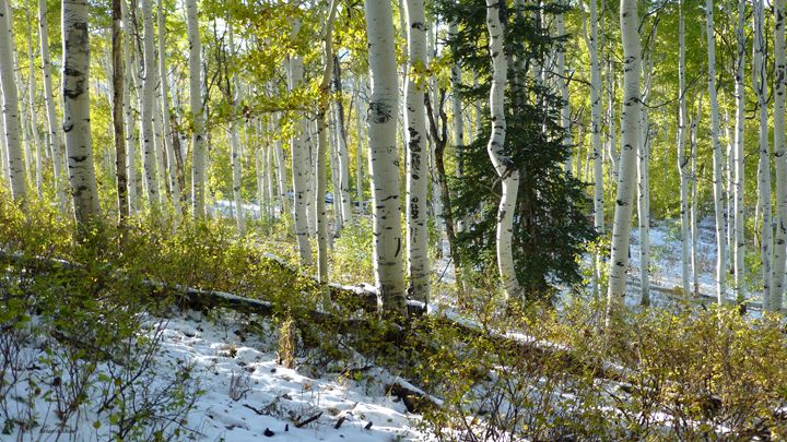 Aspens with Pine in Snow - Brian Shaw