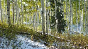 Aspens with Pine in Snow