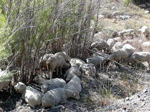 Sheep Huddle - Brian Shaw