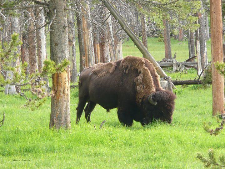 Woodland Bison - Brian Shaw