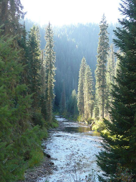 Pines and River at Dawn - Brian Shaw