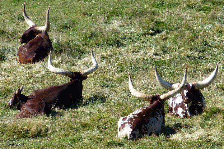 Resting Longhorn - Brian Shaw