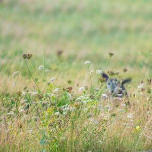 dog hiding in meadow