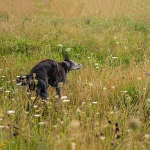 dog shaking in meadow