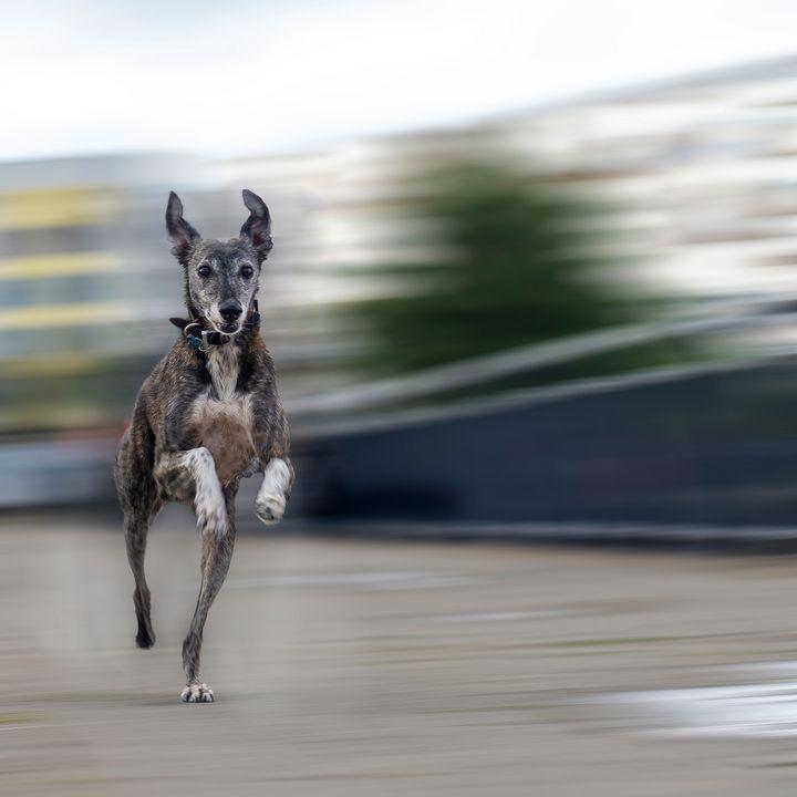 whippet dog running - Burntmoon