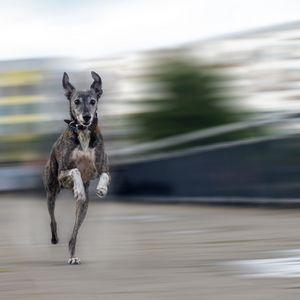 whippet dog running